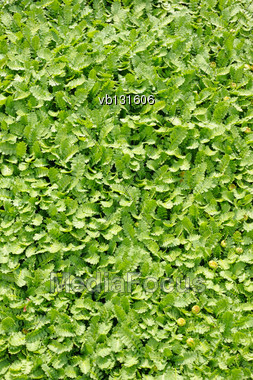 Groundcover Plant, Decorative Texture In The Garden Stock Photo