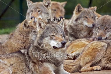 group of eurepean gray wolves Stock Photo