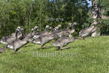 A Group of Goslings Running Stock Photo
