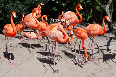 Group Of Pink Flamingos Mingling At The Zoo. Stock Photo
