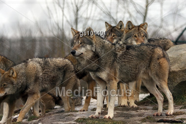 group of wolves,alpha watching over the pack Stock Photo
