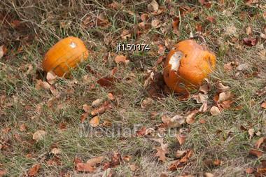 Halloween Pumpkin Patch Field Eaten By Animals Stock Photo