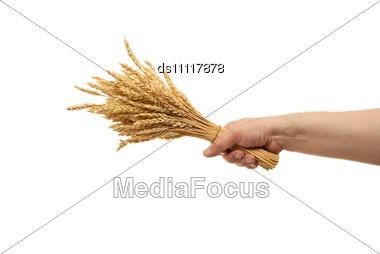 Hand Hold Wheat Ears Stock Photo
