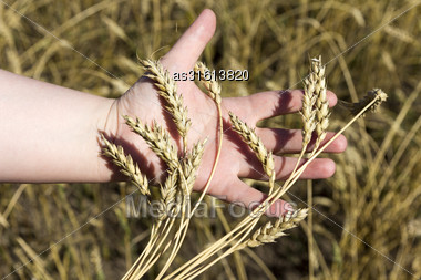 Hand Holding Ears Of Wheat Stock Photo