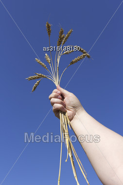 Hand Holding Ears Of Wheat Against Blue Sky Stock Photo