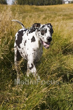 Photo Harlequin Great Dane - Image DP1778929 - Harlequin Great Dane ...
