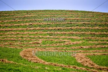 Hay Crop Swath In Saskatchewan Canada Blue Sky Stock Photo