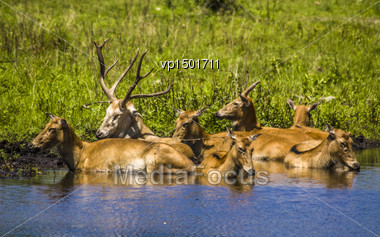 Herd Of Deers Taking A Bath In The Lake Stock Photo