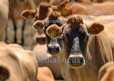 Herd Of Jersey Cows, Westland, New Zealand Stock Photo