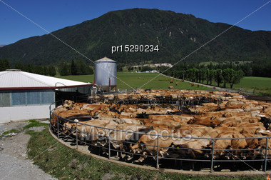 Herd Of Jersey Cows Yarded For Milking, West Coast, New Zealand Stock Photo