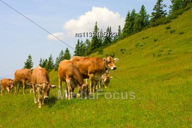 Herd Of Cows Grazing In Alps Stock Photo