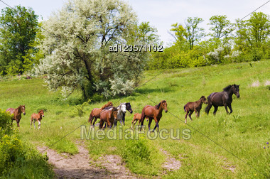 Herd Of Wild Steppe Horses On Graze Background Stock Photo