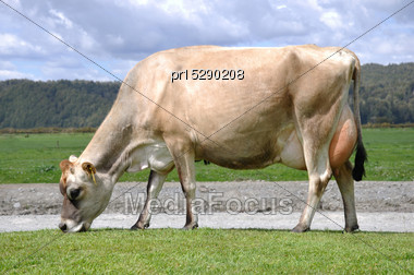 High Production Pedigree Jersey Cow Showing Off Udder Attachment, West Coast, New Zealand Stock Photo