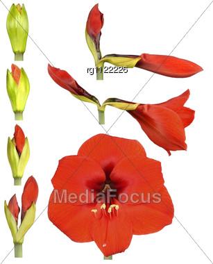 Hippeastrum Flower Stock Photo