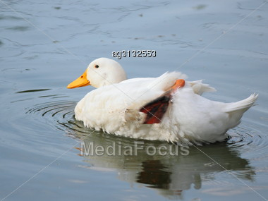 Home Swimming Bird Cleans Its Feathers Paw, Being On The Water Stock Photo