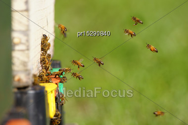 Honey Bees Entering Hive On A Sunny Day Stock Photo