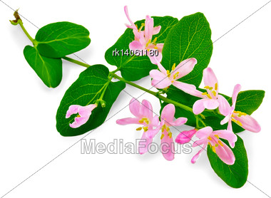 Honeysuckle Sprig With Pink Flowers And Green Leaves Isolated On White Background Stock Photo