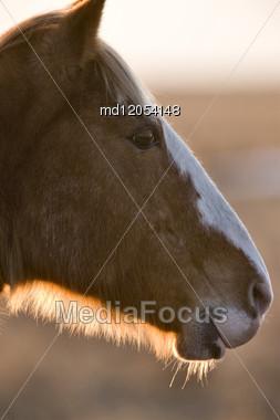 Horse At Sunset In Saskatchewan Canada At Sunset Stock Photo