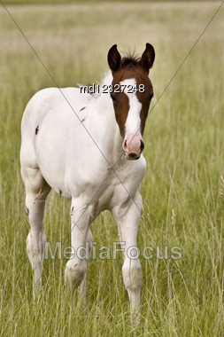 Horse Colt Saskatchewan Field Standing And Staring Stock Photo