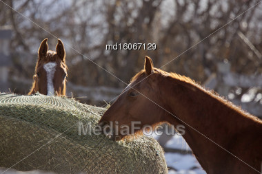 Horse In Winter In Alberta Canada Brown Stock Photo