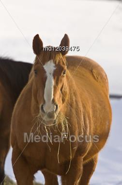 Horse In Winter Eating Hay Saskatchewan Canada Freezing Cold Stock Photo