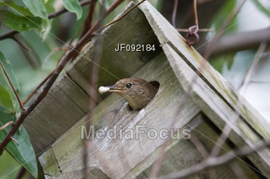 House Wren (Troglodytes Aedon) Cleaning Out It's House Stock Photo