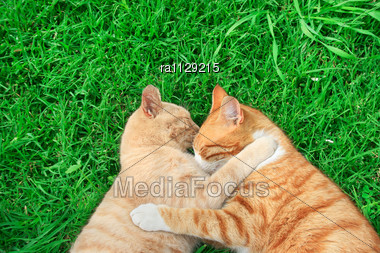 Hugging Tawny And Red Cats On Green Grass Stock Photo