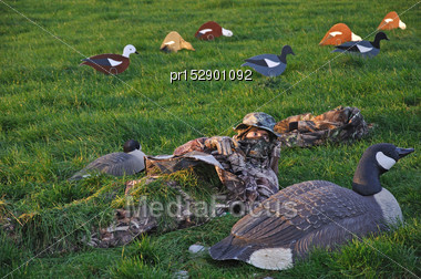 Hunter Covers Up Among Decoys Of Canada Goose And Paradise Ducks, West Coast, South Island, New Zealand Stock Photo
