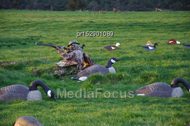 Hunters Aims His Gun While Waiting With Decoys Of Canada Geese, Branta Canadensis, And Paradise Ducks, Westland, New Zealand Stock Photo