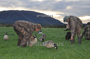 Hunters Set Up Decoys Of Canada Geese, West Coast, South Island, New Zealand Stock Photo