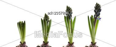 Hyacinthus Stem On White Stock Photo