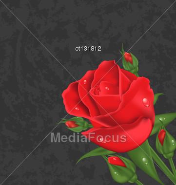 Illustration Beautiful Rose Isolated On Grunge Background - Vector Stock Photo