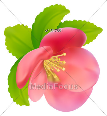 Illustration Flower Of Japanese Quince (Chaenomeles Japonica) Isolated On White Background - Vector Stock Photo