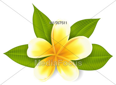 Illustration Frangipani With Leaves, Exotic Flower Isolated On White Background - Vector Stock Photo