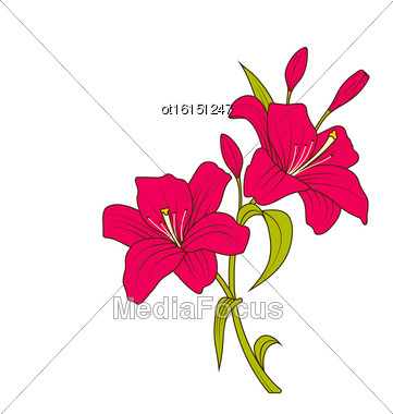 Illustration Linear Colored Sketch Of Beautiful Lily Flowers Isolated On White Background. Hand Drawn Background. Copy Space For Your Text - Vector Stock Photo