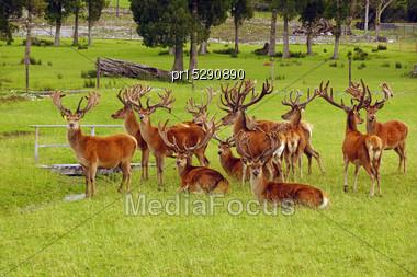 Impressive Mob Of Red Deer Stags, Cervus Elephus, In Velvet, Westland, New Zealand Stock Photo