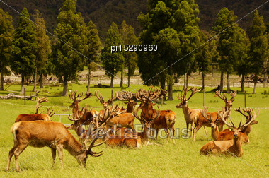 Impressive Mob Of Red Deer Stags, Cervus Elephus, In Velvet, Westland, New Zealand Stock Photo