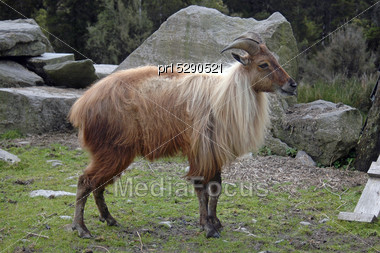 Introduced Game Animal, The Himalayan Goat, Or Thar, (Hemitragus Jemlahicus) Released Only In South Westland, South Island, New Zealand Stock Photo