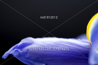 Iris Macro Dew Drops In Studio Natural Light Stock Photo