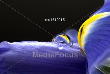 Iris Macro Dew Drops In Studio Natural Light Stock Photo