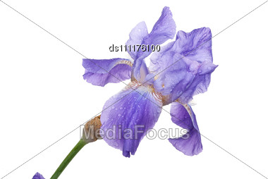Irises Flower Stock Photo