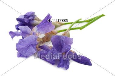 Irises On White Stock Photo