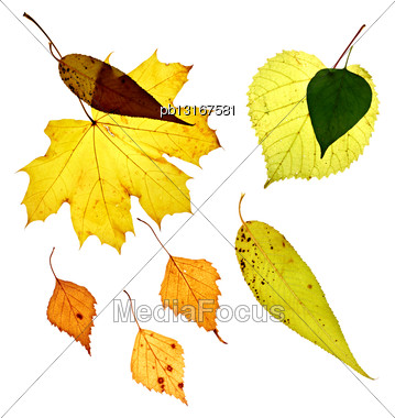 Isolated Fallen Yellow Leaves On White Background Stock Photo