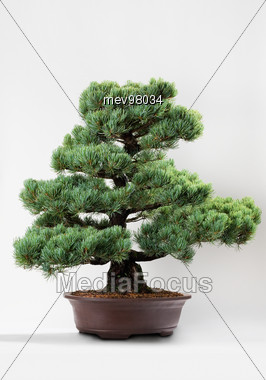Japanese, Bonsai Stock Photo