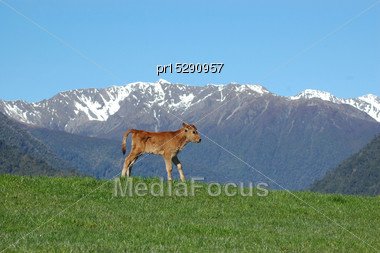 Jersey Calf Standing On Hump, West Coast Farm, South Island, New Zealand Stock Photo