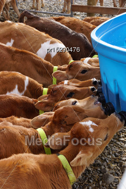 Jersey Calves Drinking Milk At Their Feeder, Westland, New Zealand Stock Photo