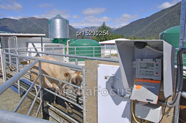 Jersey Cow Entering Computer Weighbridge To Monitor Individual Cows As They Leave The Milking Shed, Westland, New Zealand Stock Photo