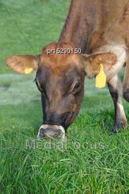 Jersey Cow On Pasture, West Coast, New Zealand Stock Photo