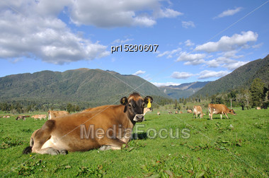 Jersey Cow Relaxed On Pasture In Front Of The Southern Alps, New Zealand Stock Photo