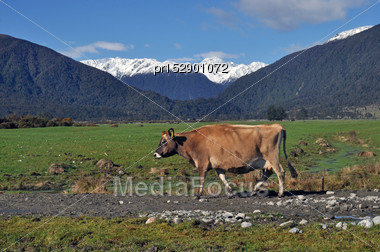 Jersey Cow Returning To Her Paddock, Westland, New Zealand Stock Photo